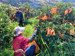 家族総出で収穫している風景。皆さんベテランです!