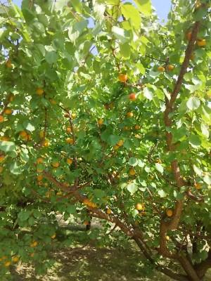 あたり一面鮮やかなオレンジ色のあんずが鈴なりになっている風景は一年に一度の素晴らしい風景です。