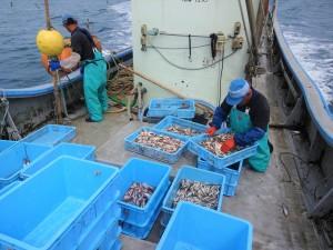 【船上での様子】繊細な魚を傷つけないよう捕獲した後に船上で滅菌作業まで行い、最大限の鮮度を保ちます。