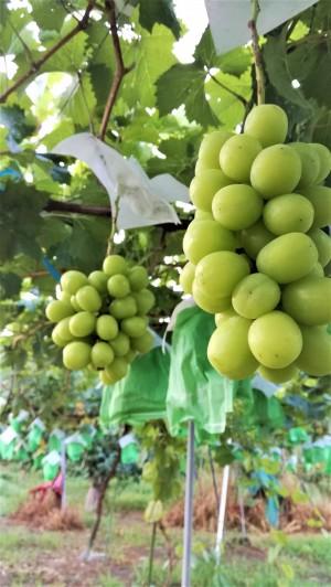 【ぶどう園の様子】生産者井田さんがぎりぎりまで樹に実らせたジューシーで濃厚な甘さのシャインマスカットをご賞味ください。
