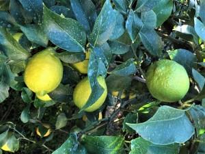 せとだのグリーンレモンは今が旬!たわわになったグリーンレモンの香りが島じゅうに広がっています。
