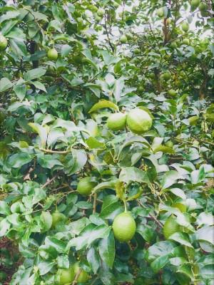安心安全な栽培管理を理念とし、安全で豊かな生活が送れるようにと願いを込め、広島レモンの最高峰「せとだエコレモン」として名実ともに日本のトップブランドとしてお届けします。