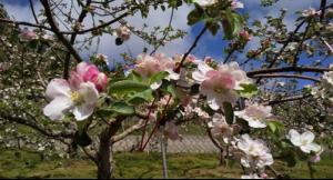 長野県飯綱町りんご(サンフジ)の生産者さんのご紹介
