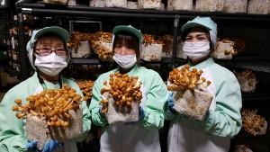 【世羅きのこ園】 人工松茸の研究をする過程の中で、松きのこ、松なめこといった新種のきのこを開発しました。松きのこを使った雑炊のもとや、松きのこコロッケなどの加工販売も行っています。