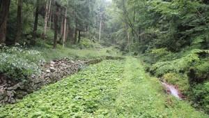 【島根わさび】山奥のわさび田での渓流を利用した栽培は苦労の連続。農家が心と知恵を尽くして栽培しています。