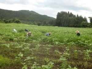 自社栽培の農薬不使用、有機栽培の大豆