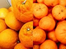 旬の柑橘詰め合わせ!上天草市維和島産 有機栽培の訳ありポンカン&訳あり不知火(しらぬい) 7kg【送料込】