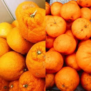 旬の柑橘詰め合わせ!上天草市維和島産 有機栽培の訳ありポンカン&訳あり不知火(しらぬい) 10kg【送料込】