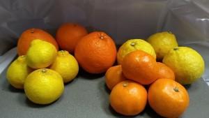 予定しているシトラスバスケットの商品です。※収穫状況により、せとかを除く一部柑橘の変更などの可能性がありますことをご了承ください。