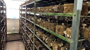 【平戸ロマン】平戸森林組合では菌床椎茸を栽培しています。ハウスの中で水分・温度の管理を行うので、身が締まった良質な椎茸に育ちます。写真は菌床椎茸を栽培している様子です。