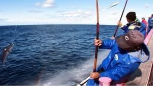 かつお一本釣りは活餌を撒き、疑似餌を使って竿で釣る日本古来の漁法です。一尾づつ船上に釣り上げられるため、一回の漁獲量は少ないですが釣り上げたカツオの扱いが丁寧なので鮮度がとてもよく、その殆どが刺身生食用として流通しています。